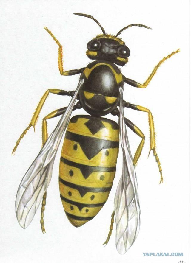 Где живут и зимуют шершни: чем питаются насекомые, их жизнь в гнезде