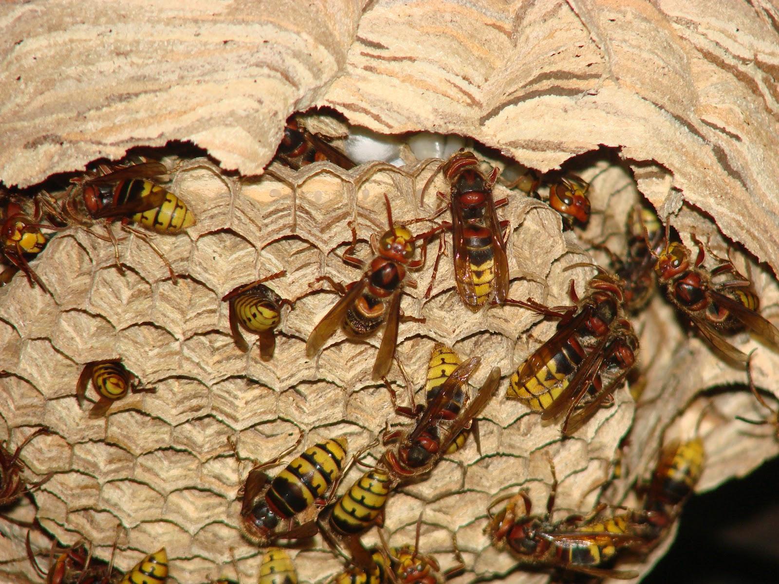 Из чего осы делают гнезда: какие строительные материалы используют насекомые?