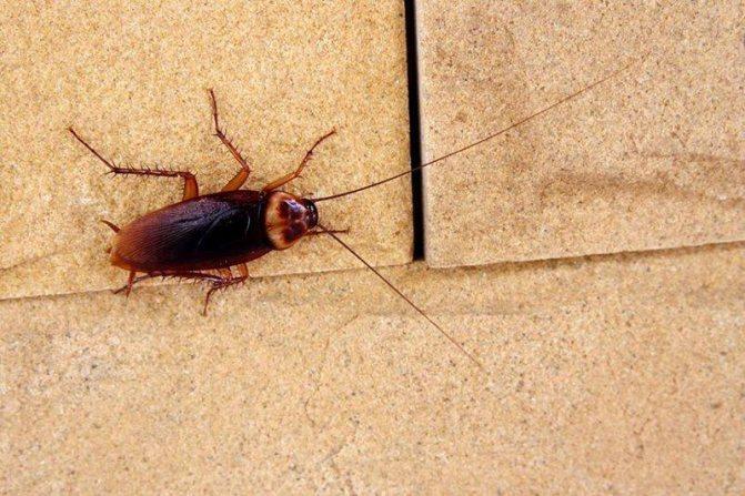 Какой вред наносят тараканы человеку: какие инфекции и болезни переносят