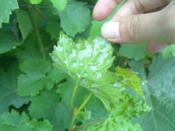 Чем обработать виноград от паутинного клеща