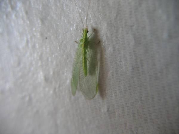 Появление маленьких зеленых мошек в квартире: что это за насекомые и как с ними бороться?