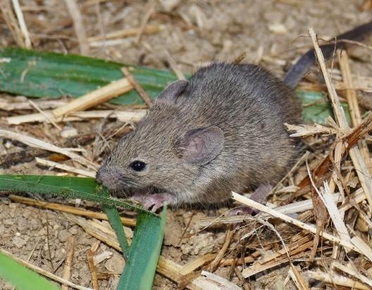Декоротивные мыши — уход, содержание и разновидности домашних мышей