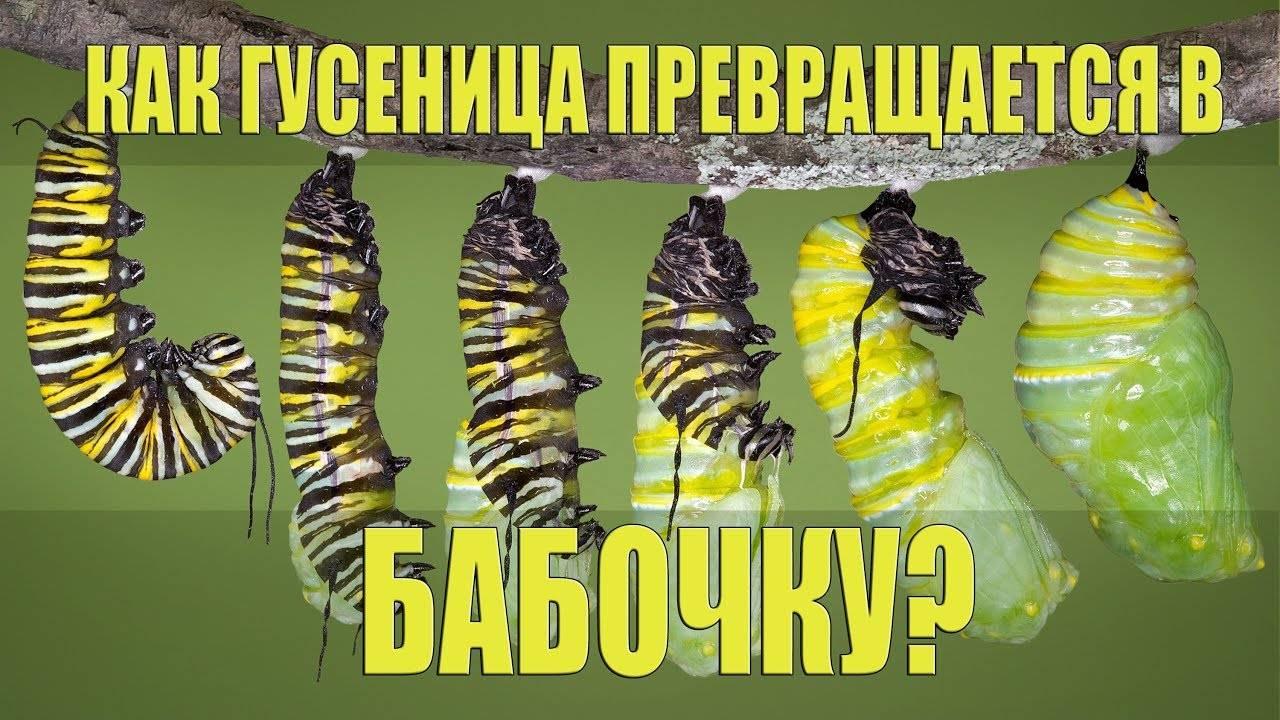 Превращение гусеницы в бабочку. презентация к уроку по окружающему миру (старшая группа) на тему