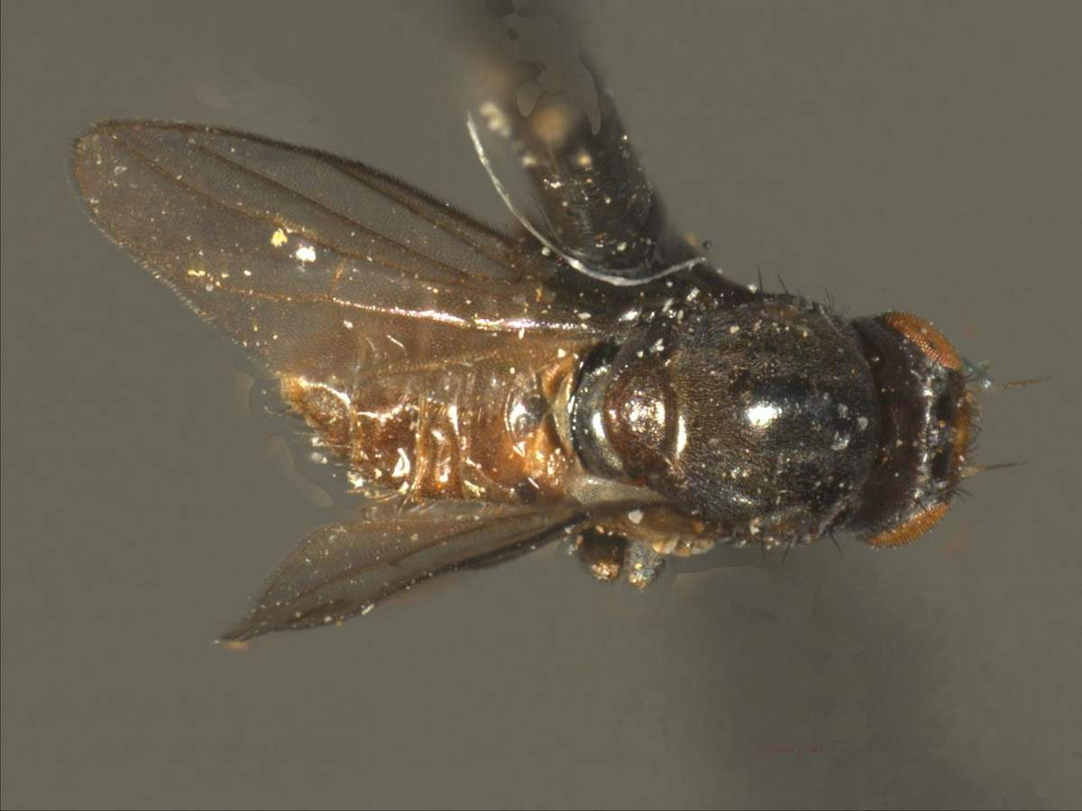 Шведские мухи: овсяная, ячменная - зерновые: овес, пшеница, рожь