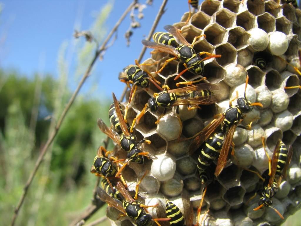 Почему осы в доме считается хорошей приметой
