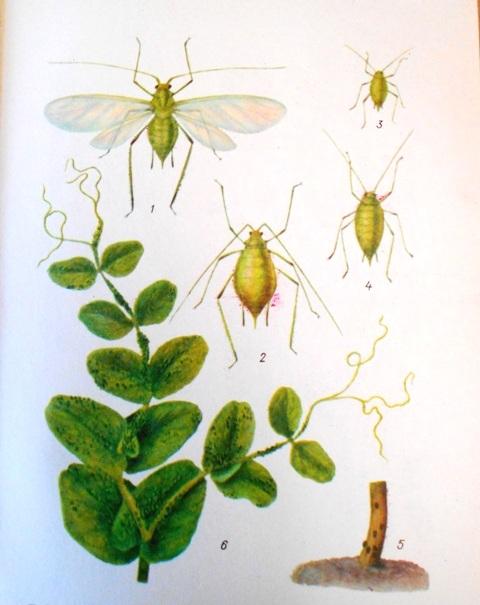 Болезни бобов, бобовых культур и трав, вредители растений и меры борьбы с ними