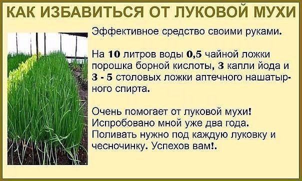 Как избавиться от луковой мухи на грядке - верные рекомендации | красивый дом и сад