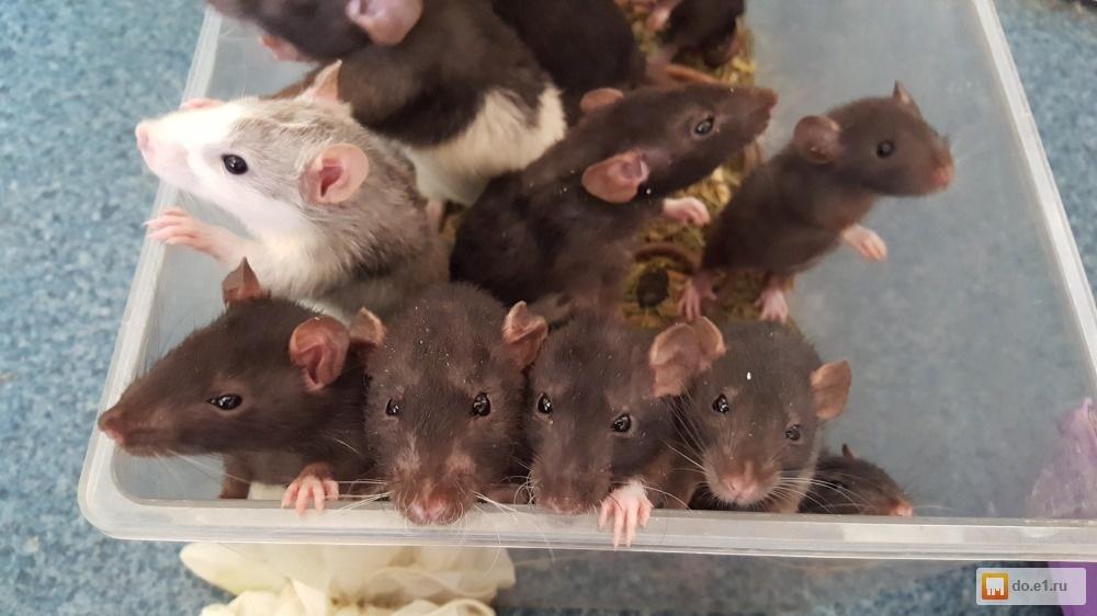 Сколько живут крысы в диких и домашних условиях