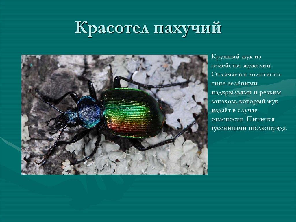 Красотел сетчатый - зеленый истребитель гусениц