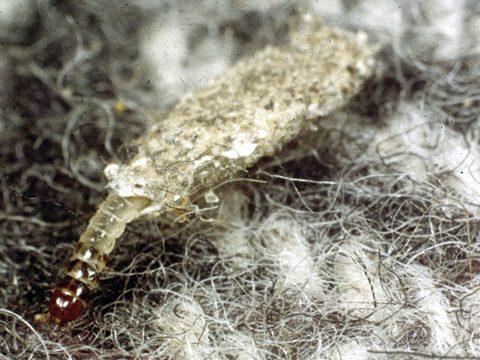 Личинки моли: как избавиться, как выглядят и где заводятся