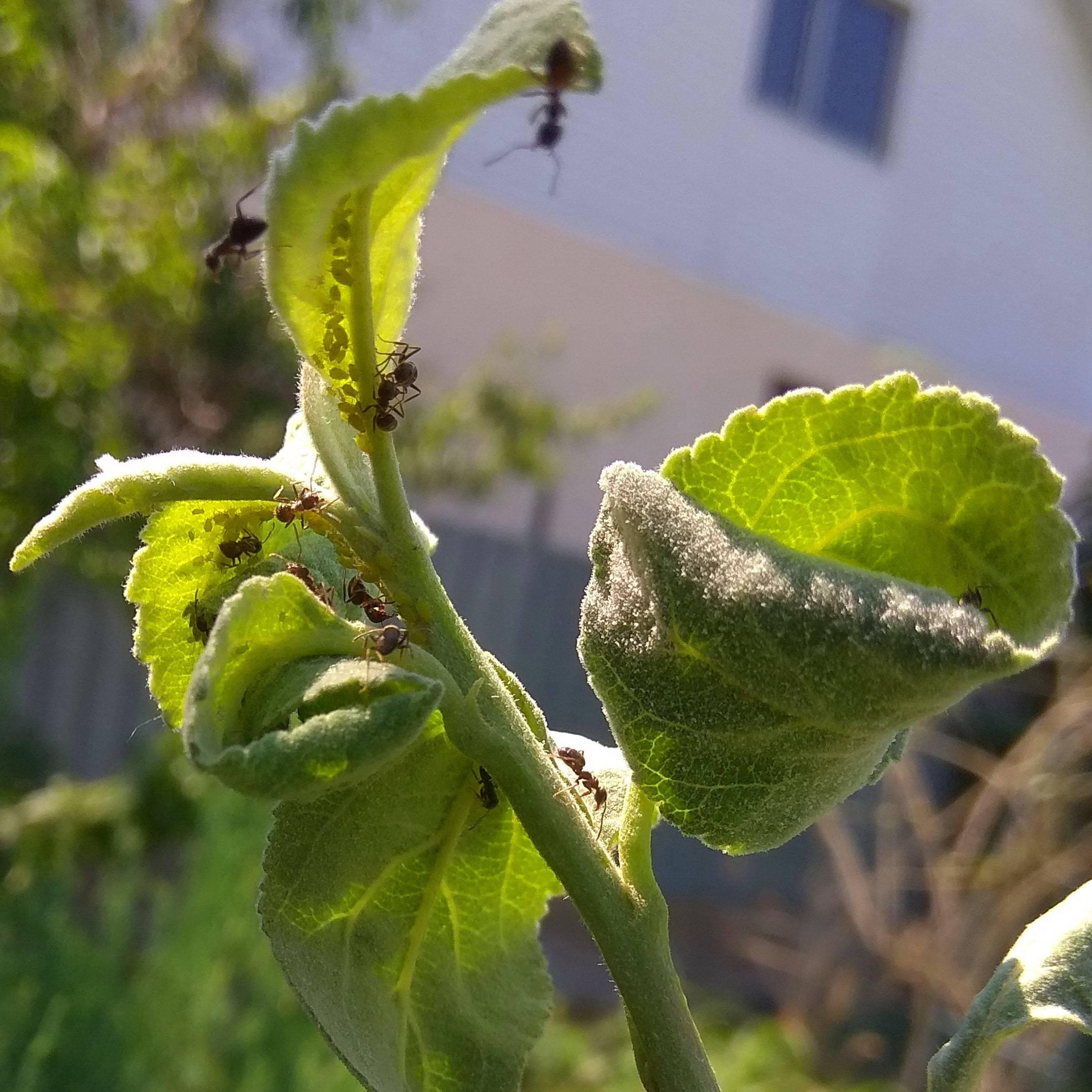 Тля на яблоне: как бороться, признаки, виды тли