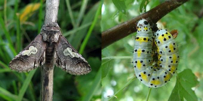 ᐉ березовые пяденицы: вред наносимый бабочками и меры борьбы с ними - orensad198.ru