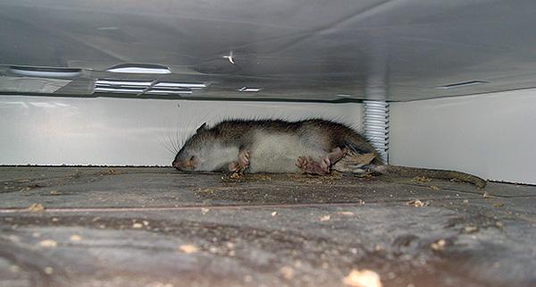 Какой запах отпугивает крыс и мышей. чего боятся мыши