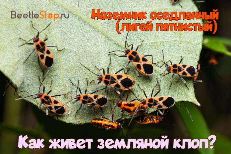 Мраморный клоп насекомое. описание, особенности, виды и способы борьбы с вредителем