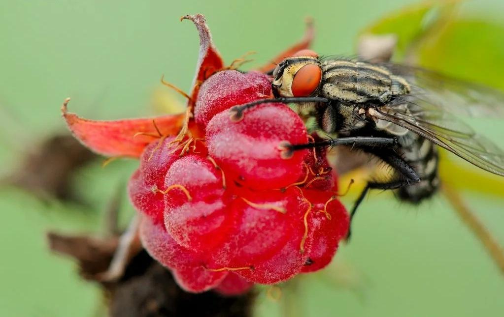 Малинная стеблевая муха: профилактика, борьба, препараты и народные средства