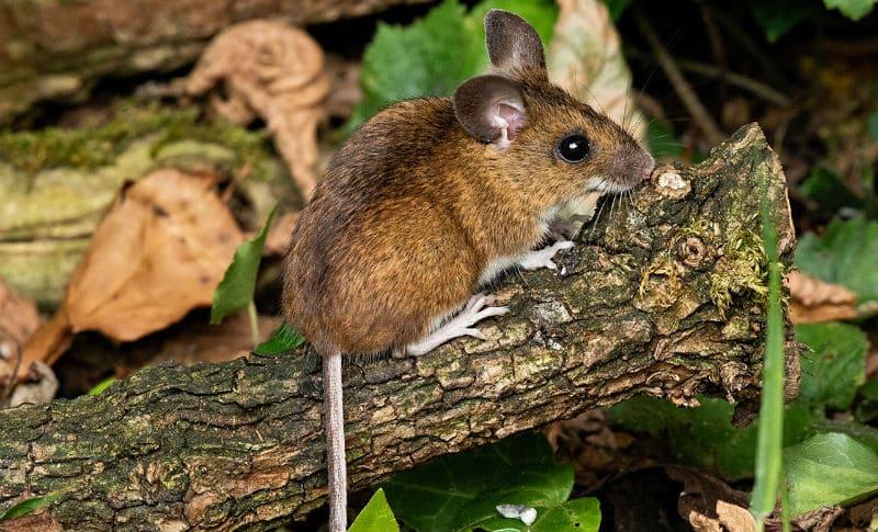 Лесная мышь - фото и описание