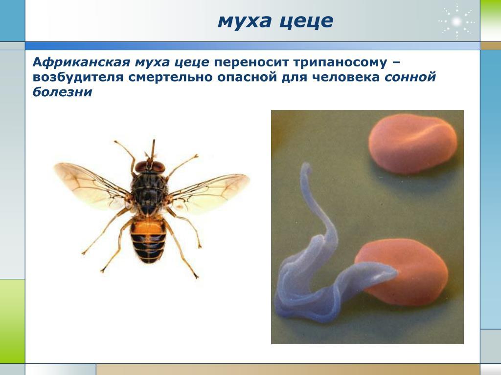Мухи-переносчики болезней животных