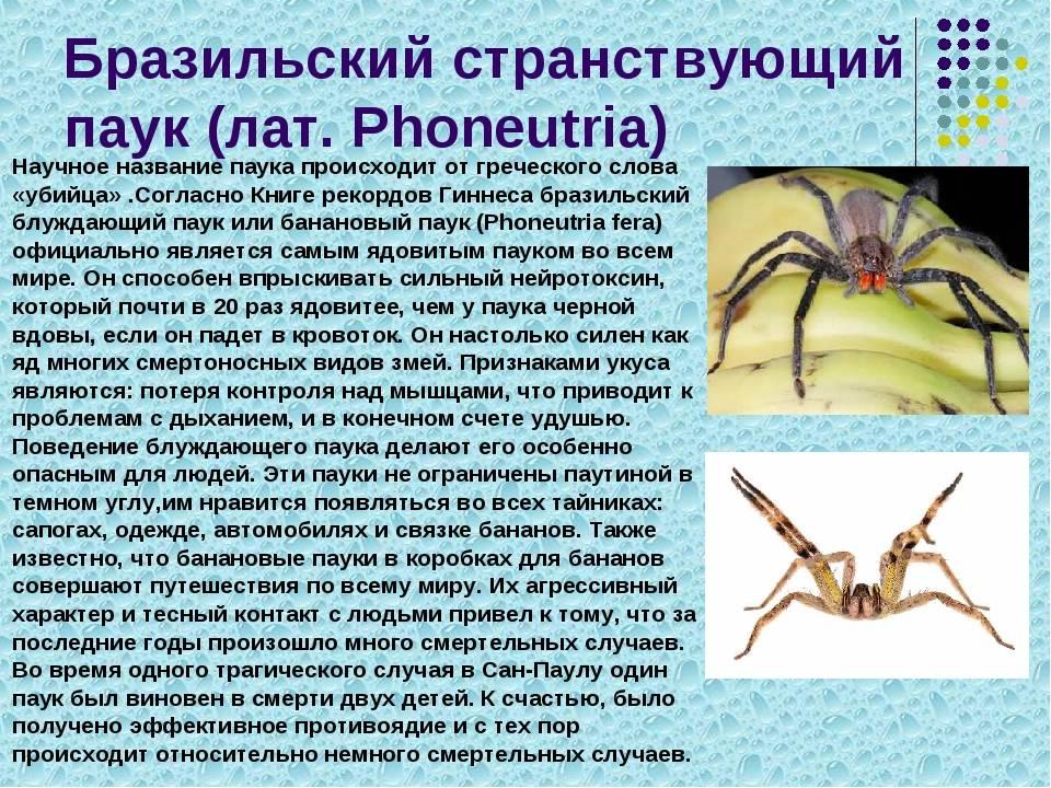 9 самых ядовитых пауков в мире