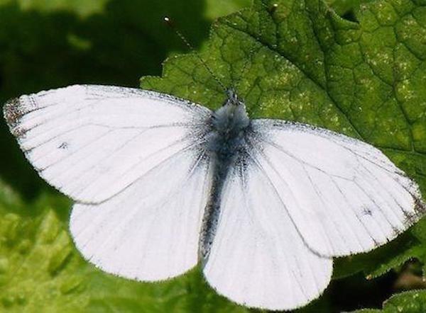 Красивый враг вашего огорода: бабочка капустница