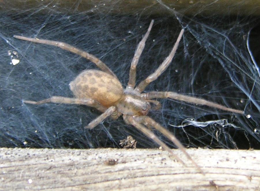 Домашние пауки: виды, какие живут в домах в россии, опасны ли черные пауки