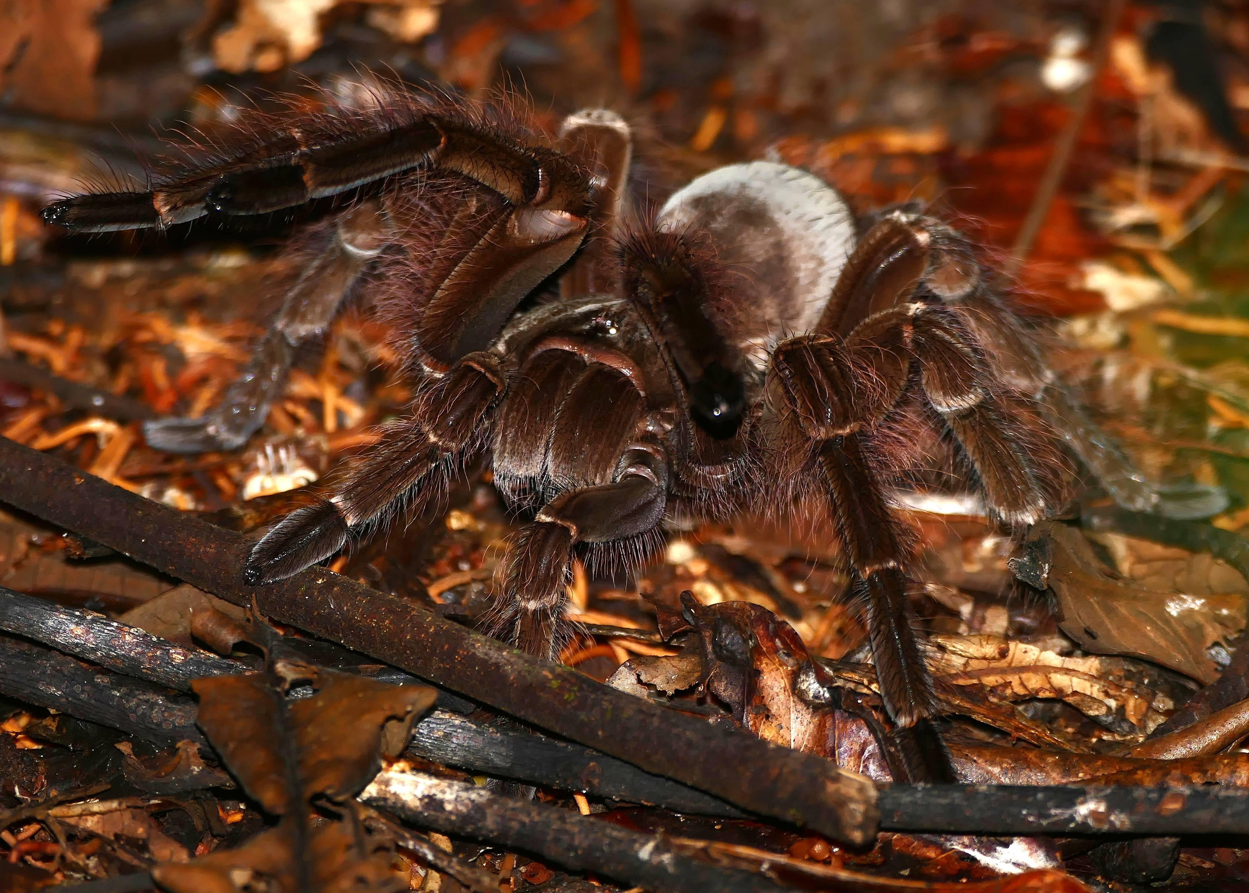 Самый большой паук в мире: фото, размеры - 24сми