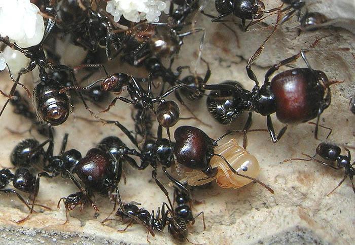Cодержание и уход в домашних условиях муравьев-жнецов (messor structor)