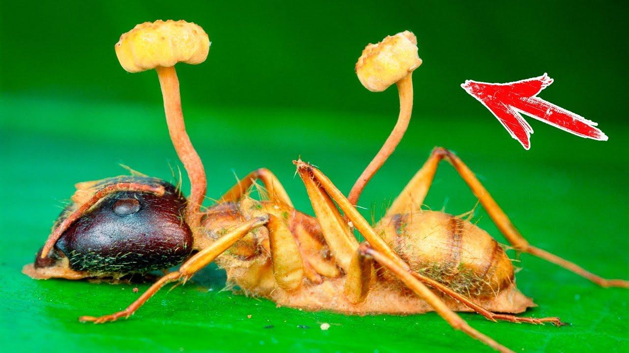 Интересные факты про гриб кордицепс однобокий