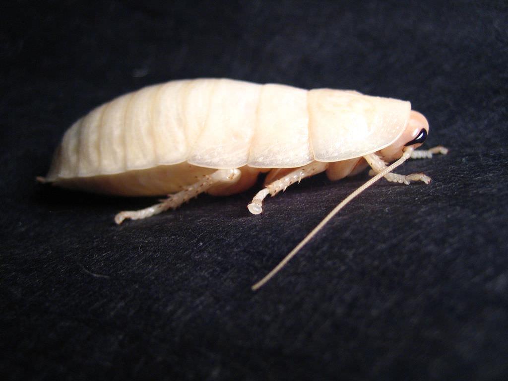 Белые тараканы в квартире