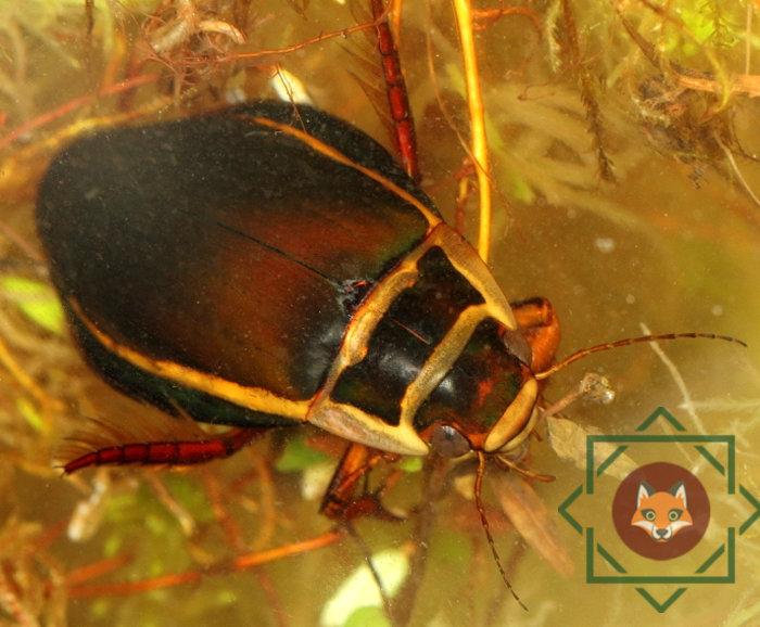 Жук-плавунец: развитие хищного насекомого от личинки до имаго