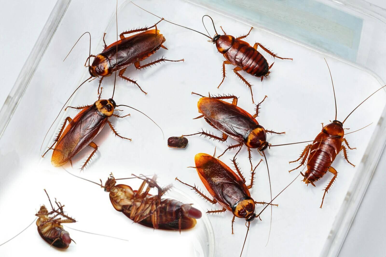 Как быстро размножаются домашние тараканы. размножение тараканов | дачная жизнь