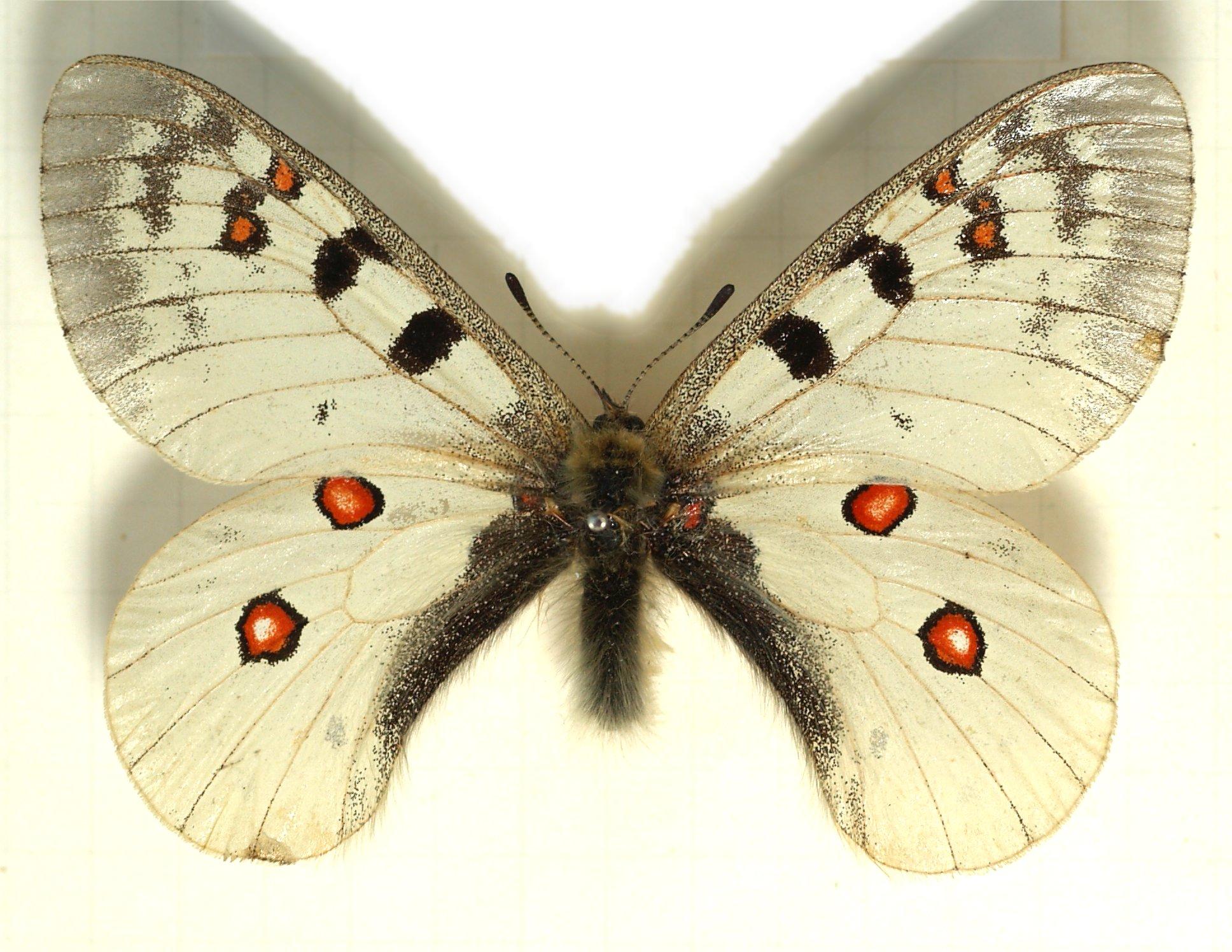 Бабочка аполлон – вымирающая красавица