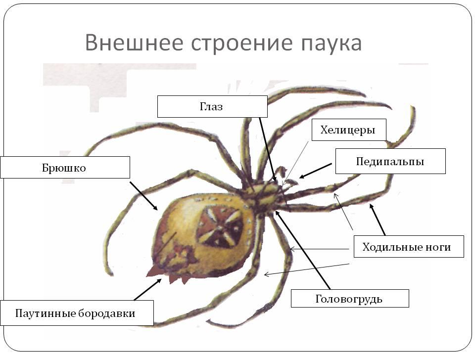 Анатомия паука, из чего состоит его скелет и какими особенностями обладают разные части тела?