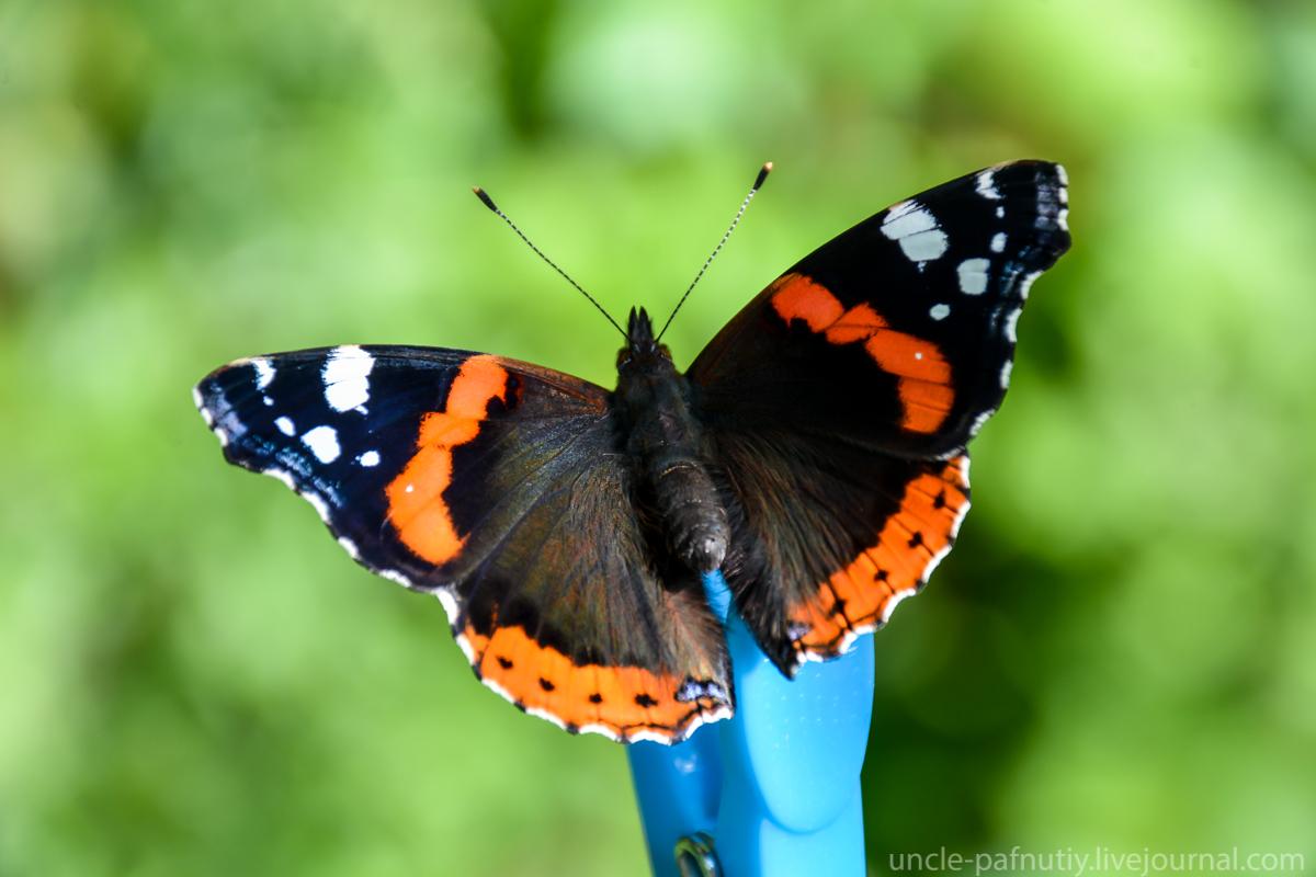 Описание и полная характеристика бабочки адмирал, а также красивые фото
