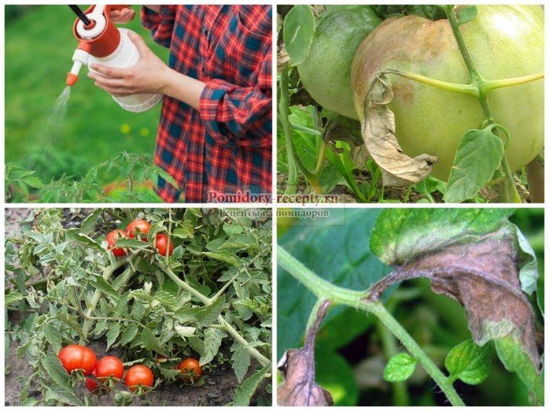 Как избавиться от белокрылки на томатах