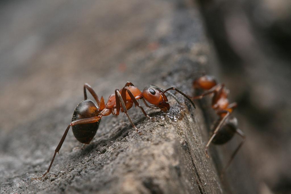 Рыжий лесной муравей: жизнь в лесу, польза и вред для человека и природы