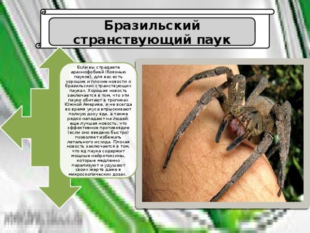 Бразильский странствующий паук, или банановый паук | мир животных и растений