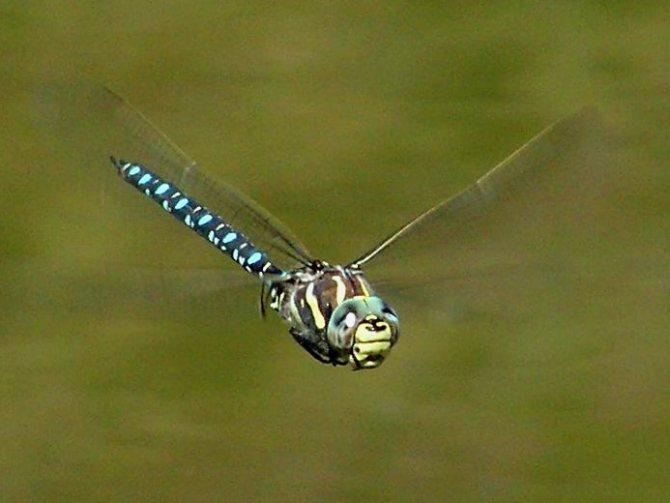 Голубое коромысло. состояние изученности стрекоз и их видовой состав астраханской области. семейство коромысловые aeshnidae