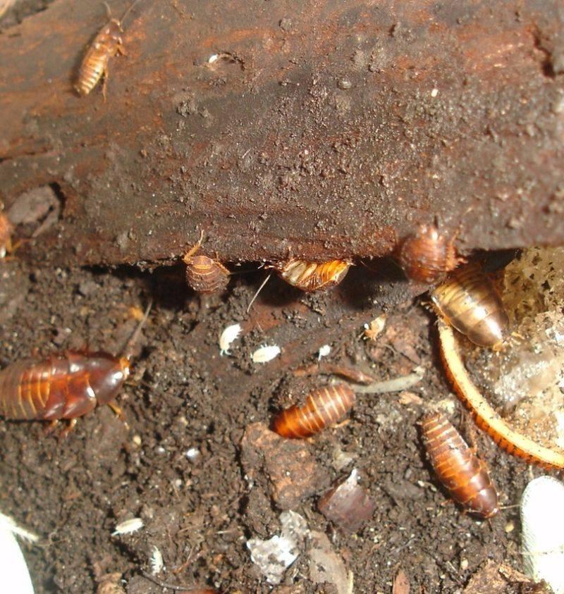 Cколько тараканов вылупляется из одного яйца и где тараканы откладывают яйца (оотеки)?
