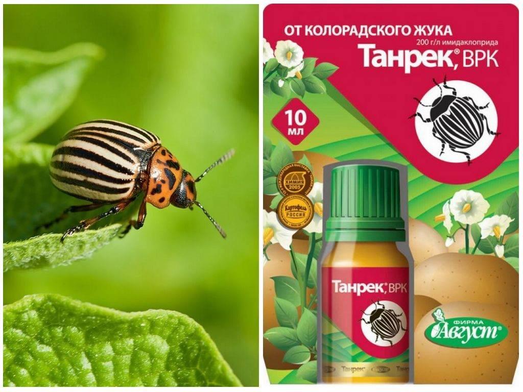 Колорадский жук: способы борьбы с вредителем и их особенности