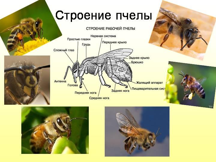 Насекомое оса – фото и описание разновидностей ос