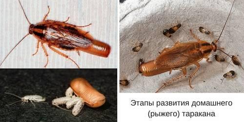 Яйца тараканов: как они выглядят и сколько вылупляется из одной оотеки