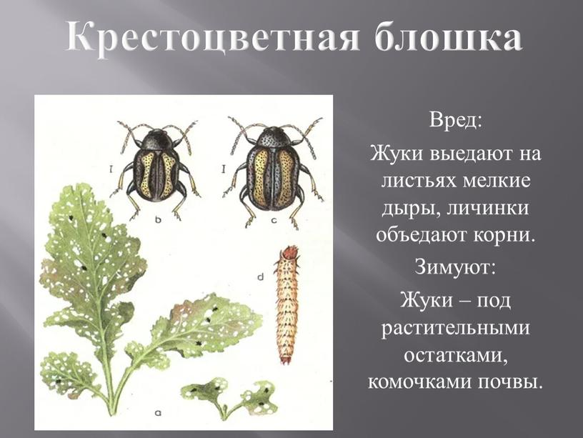 Чем обработать капусту от крестоцветной, черной блошки – химические и народные средства