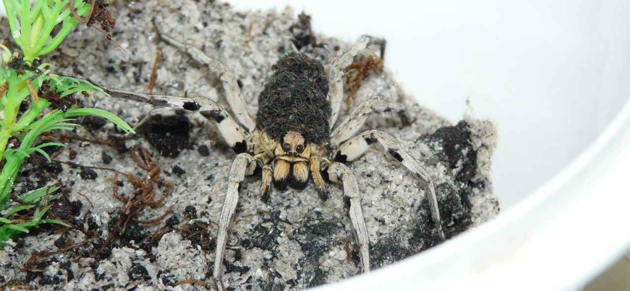 Особенности содержания тарантула в домашних условиях