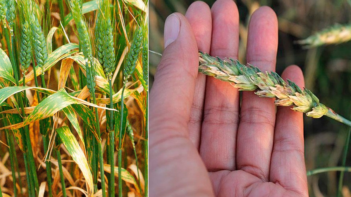 Трипсы на озимой пшенице. пшеничные трипсы - ганеев вадим анварович. агротехнические меры борьбы с пшеничным трипсом - электричество