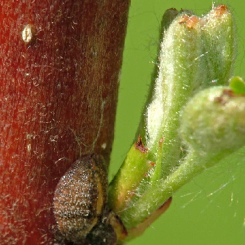 Как бороться с паутинным клещем на винограде