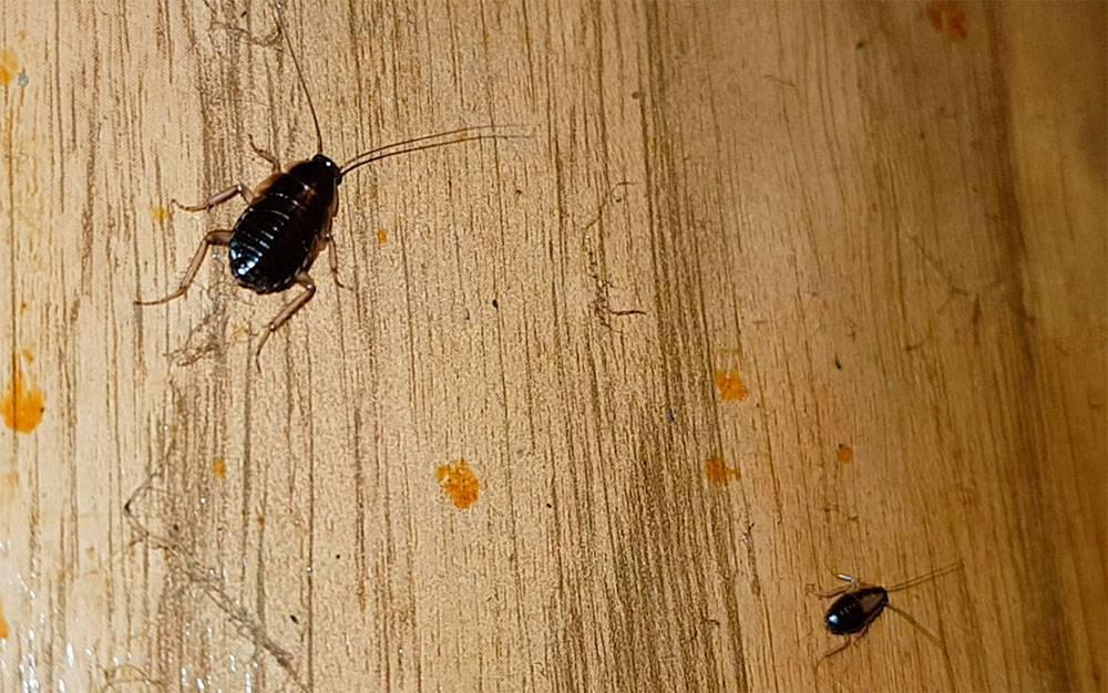Маленький таракан как выглядит