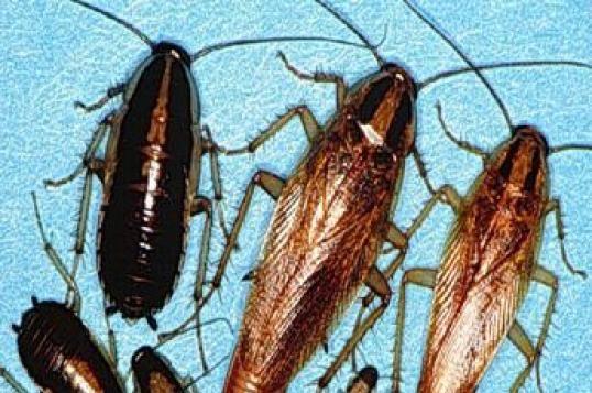 Как избавиться от тараканов в квартире или доме раз и навсегда