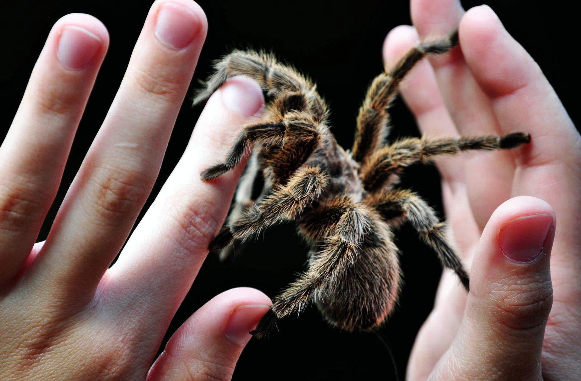 Тарантул – большой ядовитый паук. необыкновенный паук тарантул и многообразие его видов сколько живут пауки тарантулы