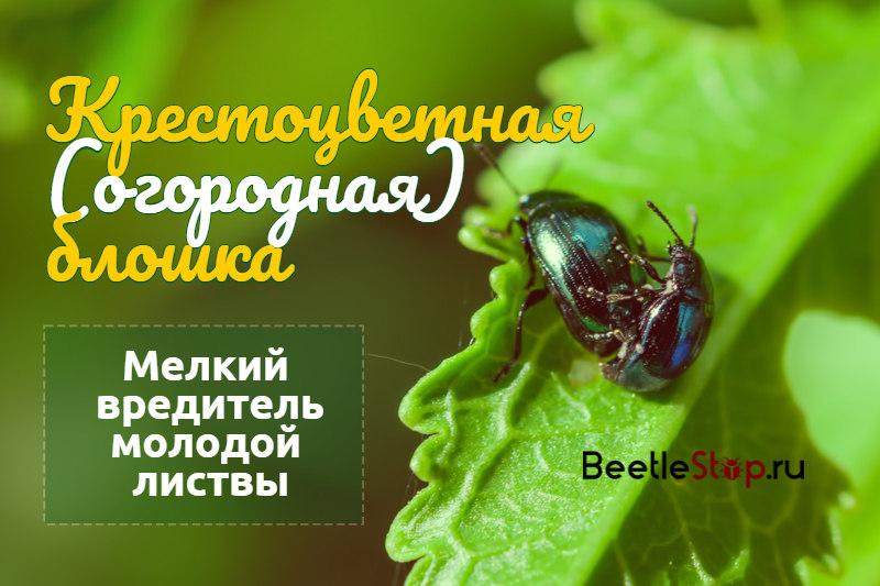 Крестоцветная блошка — как бороться? (проверенные способы) - удобряшкин.ру