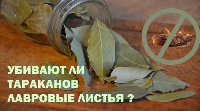 Лавровый лист от тараканов: просто и эффективно